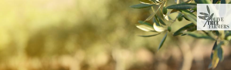 Teaser Olivetree2